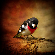 Pamela Phelps Framed Prints - Male Rose Breasted Grosbeak Framed Print by Pamela Phelps