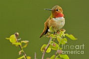 Male Rufous Hummingbird Print by Tom and Pat Leeson