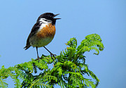 Stephen Rees - Male stonechat bird...