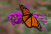 Tom Culver - Male_Monarch_8834 OP