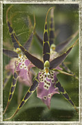 Orchidaceae Framed Prints - Maliko Dreams Framed Print by Sharon Mau