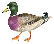 Animals Drawings - Mallard by Anonymous