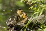 Mallard Ducklings Photos - Mallard Babies by Mircea Costina Photography