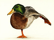 Waterfowl Paintings - Mallard Ballet by Pat Erickson