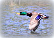 Travis Truelove Photography Prints - Mallard - Drake - Duck Print by Travis Truelove