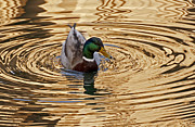 Kate Brown Metal Prints - Mallard Drake Metal Print by Kate Brown