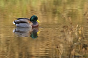 Golden Pond Prints - Mallard Drake on Golden Pond Print by Sharon  Talson
