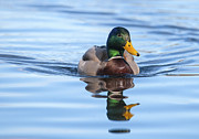 Drake Art - Mallard Drake reflection by Sharon  Talson
