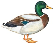 One Animal Painting Posters - Mallard duck Poster by Anonymous