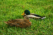 Michael Porchik - Mallard Duck couple