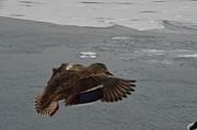 Randy J Heath - Mallard Duck landing