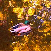 Rural Landscapes Prints - Mallard Duck on Pond 1 Print by Amy Vangsgard