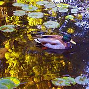 Rural Landscapes Prints - Mallard Duck on Pond 2 Print by Amy Vangsgard