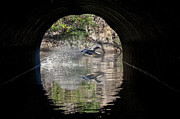 Dan Friend - Mallard duck taking off through culvert