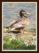 Duck Dynasty Framed Prints - Mallard Duck with Purple Feathers Framed Print by Gail Matthews