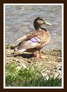 Gail Matthews - Mallard Duck with Purple Feathers