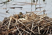Mallard Ducklings Photos - Mallard ducklings by Pamela Rayburn