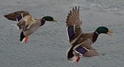 Randy J Heath - Mallard Ducks