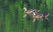 Tam Ryan - Mallard Ducks