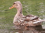 Rebecca Overton - Mallard Female