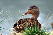 Duck Posters - Mallard hen in the grass - 1 Poster by Don Mann