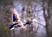 Travis Truelove Photography Posters - Mallard in Flight - Waterfowl - Duck Poster by Travis Truelove