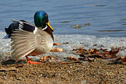 Lisa Plymell - Mallard in Pose