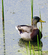 Pond In Park Prints - Mallard Male Molting Print by Shawna  Rowe