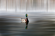 Enjoying Prints - Mallard on the Pond Print by Gary Smith