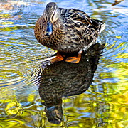 Ebb And Flow Prints - Mallard Reflects Print by Robert Harmon