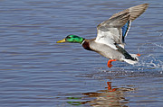 Mallard Takeoff Print by Jim Nelson