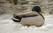 Winter Storm Photos - Mallard Versus Nemo by Deborah Smolinske