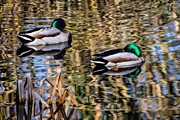 Susie Peek-Swint - Mallards In The Reeds