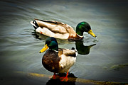 Duo Photos - Mallards on Mendota by Christi Kraft