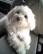 Maltese Puppy Photos - Maltese Baby Ellie by Barbara Dalton