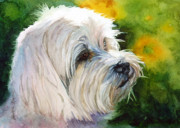 White Maltese Posters - Maltese Poster by Bonnie Rinier