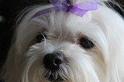 Maltese Dog Posters - Maltese Close-Up 2 Poster by Sheri Dean