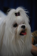 White Maltese Photos - Maltese by DR Management