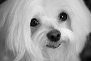 Maltese Dogs Posters - Maltese Eyes Poster by Leslie Leda