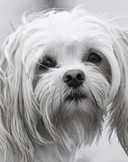 Maltese Dog Posters - Maltese in Black and White Poster by Lisa  DiFruscio