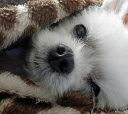 Maltese Dog Posters - Maltese In Blanket Poster by Cynthia McCullough