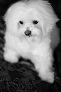 Maltese Puppy Posters - Maltese Love Poster by Leslie Leda