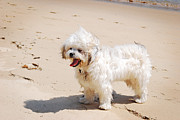 Toy Maltese Photos - Maltese Poodle at Beach by Christopher Edmunds