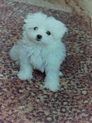 Maltese Puppy Photos - Maltese Puppy by Angela Inguaggiato