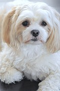 Lisa  DiFruscio - Maltese Puppy Portrait