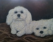 Toy Maltese Framed Prints - Malteses Framed Print by Ana Marusich-Zanor