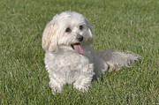 Toy Maltese Photos - Maltipoo Puppy Sitting In The Grass by Jim Vallee