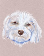 White Dogs Pastels Framed Prints - Maltipoo with an Attitude Framed Print by MM Anderson