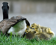 Canada Goose Art - Mama and Goslings by Lisa  Phillips