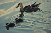Laurie Perry - Mama Ducks Family